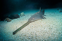 smalltooth sawfish ( c ), Pristis pectinata