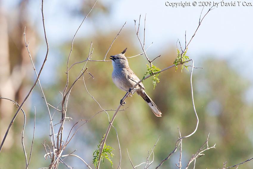 Chirruping Wedgebill, Arid Lands Botanic Garden, Pt Augusta, Australia