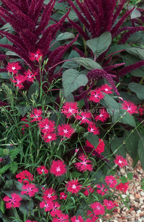 Dianthus superbus 'Crimsonia'  red flowered perennial with annual Amaranthus 'Hopi Dye Red', single flowered dark pink red