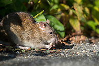 Brown Rat (Rattus norvegicus) feeding on a sidewalk in New York City's Central Park.