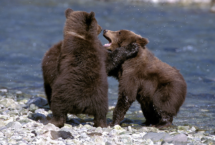 Alaskan Brown Bear (Ursus arctos) cubs wrestle at a stream in Southeast, AK