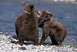 Alaskan Brown Bear (Ursus arctos) cubs wrestle at a stream in Southeast, AK