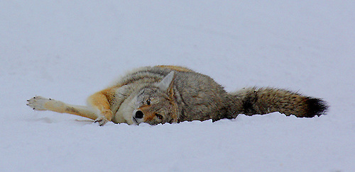 A coyote twists its body in the snow at Yellowstone National Park, Wyoming