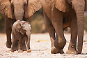 Namibia;  Namib Desert, Skeleton Coast,  desert elephant (Loxodonta africana) females and calf walking in dry river bed
