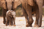 Namibia;  Namib Desert, Skeleton Coast,  desert elephant (Loxodonta africana) females and calf walking in dry river bed