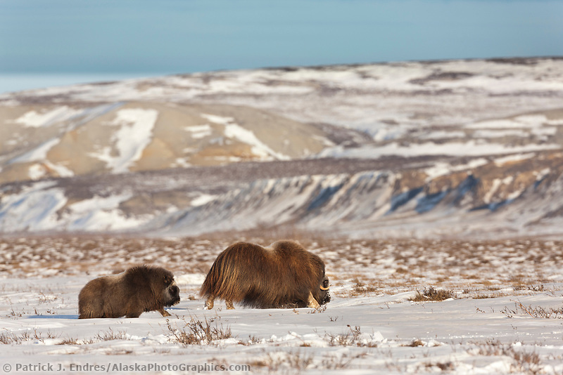 Muskox by the Franklin Bluffs, on the winter tundra in Alaska's Arctic North Slope
