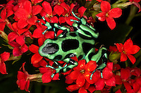 Green and Black Dart Frog, Dendrobates auratus, Costa Rica