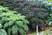 3 kinds of Kale growing together side by side: Kale Winterbor,'Redbor' dinosaur kale & Tuscany in vegetable garden with plant label tags, growing in garden, variety of mixed types, purple and green with frilly fancy leaves