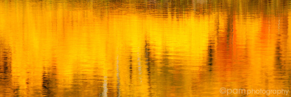 Abstract of yellow Aspens reflected in water; Panorama