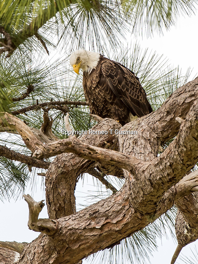 March 28, 2014: Bald eagle (Haliaeetus leucocephalus) nest corner of Plant Street and E Crown Point Rd Ocoee, FL