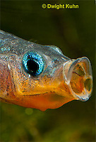 1S13-511z  Male Threespine Stickleback yawning behavior, Mating colors showing bright red belly and blue eyes,  Gasterosterus aculeatus,  Hotel Lake British Columbia
