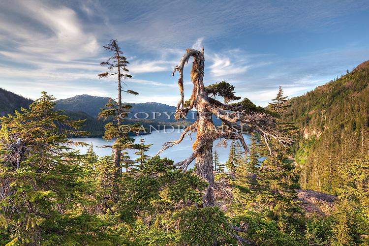 Forest and gnarly tree. Prince William Sound. Alaska. U.S.A.