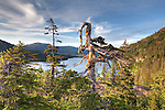Forest and gnarly tree. Prince William Sound. Alaska. U.S.A.