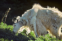 Mountain Goat shedding winter fur in early summer.