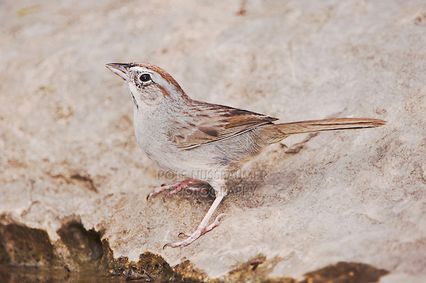 Rufous-crowned Sparrow, Aimophila ruficeps, adult drinking, Uvalde County, Hill Country, Texas, USA, April 2006