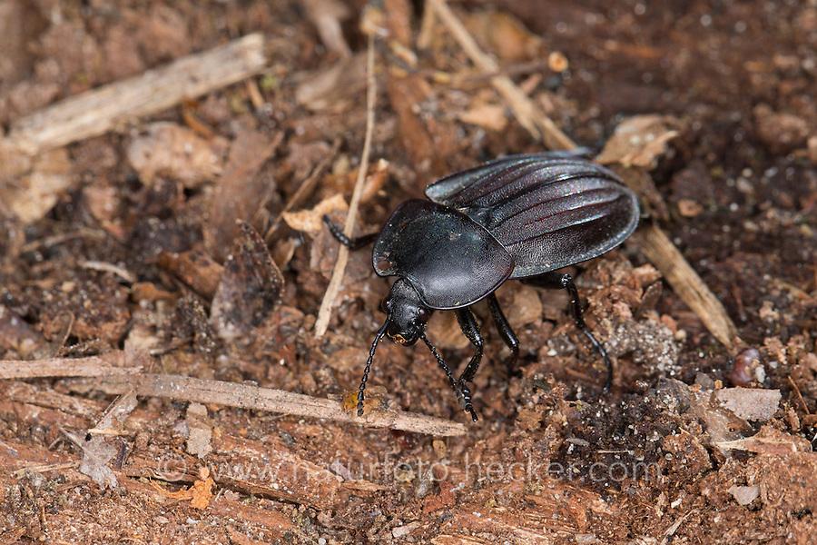 Aaskäfer, Starkgerippter Geradschienen-Aaskäfer, Silpha carinata, Carrion beetle, Silphidae, carrion beetles