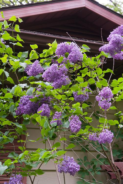 Syringa vulgaris hybrid, fragrant lilac in spring bloom