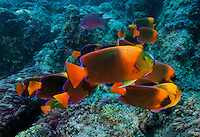 RM0173-D. Clarion Angelfish (Holacanthus clarionensis), herbivores grazing on algaes growing on the rocky reef. These fish are endemic to the Las Revillagigedos islands. Baja, Mexico, Pacific Ocean.<br /> Photo Copyright &copy; Brandon Cole. All rights reserved worldwide.  www.brandoncole.com
