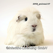 ANIMALS, REALISTISCHE TIERE, ANIMALES REALISTICOS, fondless, photos+++++,SPCHGUINEA147,#a#, EVERYDAY