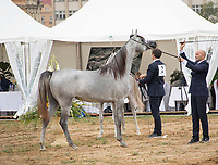 Arabian Horse and handler in the show ring, being judged, at Prague Intercup - International Arabian Horse Show 2017