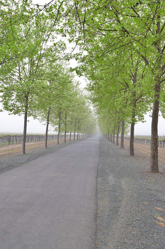 Road into vineyard with fog. Near St. Helena. California