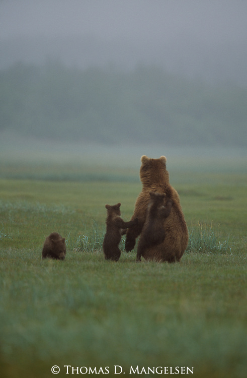 Grizzly bear and three cubs standing in a foggy meadow in Alaska