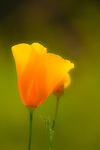 California Poppies growing in rural Auburn, California.