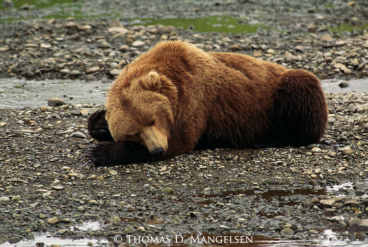 Sleeping grizzly bear in Alaska