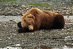 Sleeping grizzly bear in Alaska
