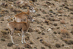 Argali (Ovis ammon) females, Sarychat-Ertash Strict Nature Reserve, Tien Shan Mountains, eastern Kyrgyzstan