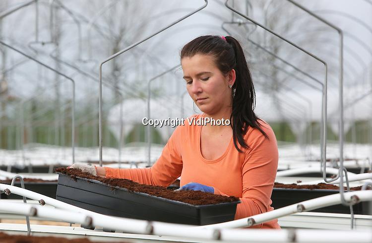 Foto: VidiPhoto<br /> <br /> BEMMEL - In het kassengebied Bergerden bij Bemmel wordt maandag de laatste hand gelegd aan een van de grootste overkapte aardbeien-arealen van ons land: 7,5 ha. Poolse werknemers van Royal Berry plaatsen 50.000 plastic bakken en tienduizenden aardbeienplantjes en trekken zo'n 50.000 meter aan plastic kappen over de stellingen. Royal Berry is met 19 ha. aardbeien onder de kap en onder glas verreweg de grootste teler van Gelderland. In juni worden dan de eerste aardbeien, zogenoemde doordragers, van de buitenteelt geoogst. Van Genderen wil met de aardbeien onder de kap de kwaliteit van zijn product verbeteren. Tijdens de warme maanden zijn aardbeien van onder de kap langer houdbaar en smakelijker dan aardbeien uit de kas of van de koude grond. Bovendien zijn er minder bestrijdingsmiddelen nodig dan bij de op de grond geteelde vruchten.