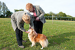 Breed show - Judge examining dog, Sheltie Dog