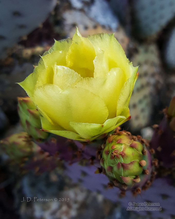 Prickly Pear Blossom, Sedona, Arizona