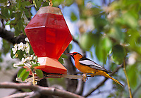 Bullock's Oriole (male), Icterus bullockii, enjoys nectar at a Perky Pet Oriole Feeder. animals, birds, wildlife. Bullock's Oriole. Arizona.