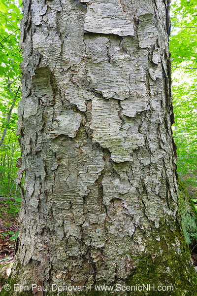 Yellow Birch (Betula alleghaniensis) in an old-growth, northern hardwood forest along the Dry River Trail in Crawford Notch State Park of the White Mountains, New Hampshire during the summer months.