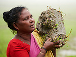 Luchia Hasda carries mud for the floor of her house in Suihari in northern Bangladesh.