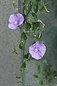 Convolvulus sabatius syn. Convolvulus mauritanicus, end June.