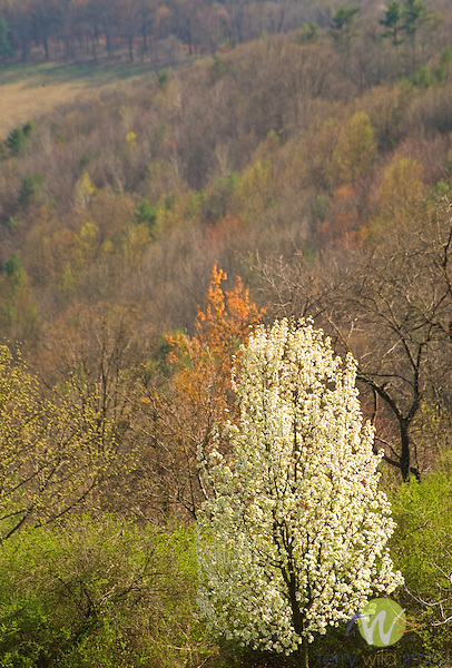 Bradford Pear Tree in bloom against spring hillside. Lycoming County, PA.