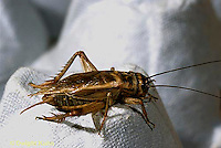 OR09-032c   Cricket - mature male cricket,wings and no ovipositor, house cricket  - Acheta domestica