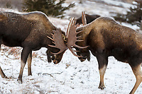 Bull moose fighting in Chugach Mountains in Chugach State Park. Glenn Alps area of Anchorage, Alaska   November 2016<br /> <br /> Photo by Jeff Schultz/SchultzPhoto.com  (C) 2016  ALL RIGHTS RESVERVED