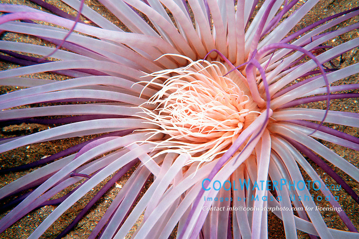 tube anemone, Cerianthus sp., .Suruga Bay, Osezaki, Izu Peninsula, .Shizuoka, Japan (Pacific)