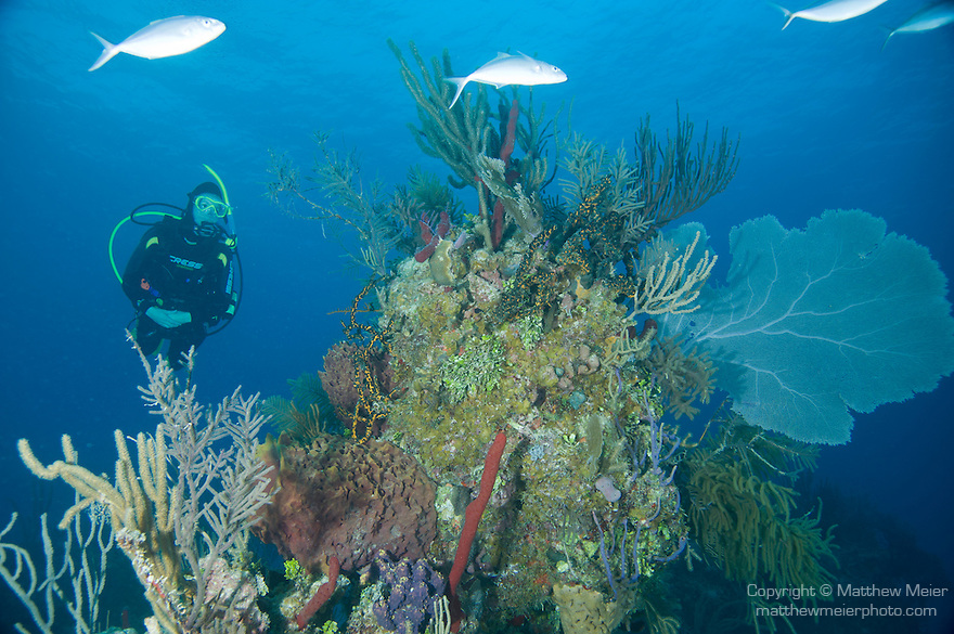 Grand Bahama Island, The Bahamas; a scuba diver swims over a colorful coral head with sea rods, sponges and sea fans, as fish swim overhead