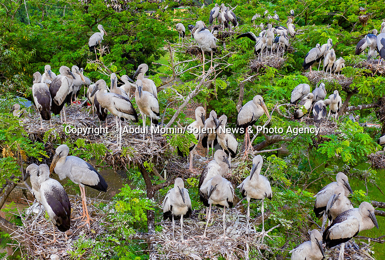 An enormous colony of storks seem unconcerned by a drone which hovers around them as they nest until their chicks are old enough to fly.  Hundreds of Asian Open Bill Storks took over a pair of 'rain trees' in Shibganj Upazila, Bangladesh.<br /> <br /> The extraordinary flock of birds, which had built their nests all over the 25ft tall Samanea saman trees, appeared remarkably unperturbed as the drone flew little more than 10ft from them.  Given how many there were, photographer Abdul Momin admitted he was concerned about shooting them up so close.  SEE OUR COPY FOR DETAILS.<br /> <br /> Please byline: Abdul Momin/Solent News<br /> <br /> © Abdul Momin/Solent News & Photo Agency<br /> UK +44 (0) 2380 458800