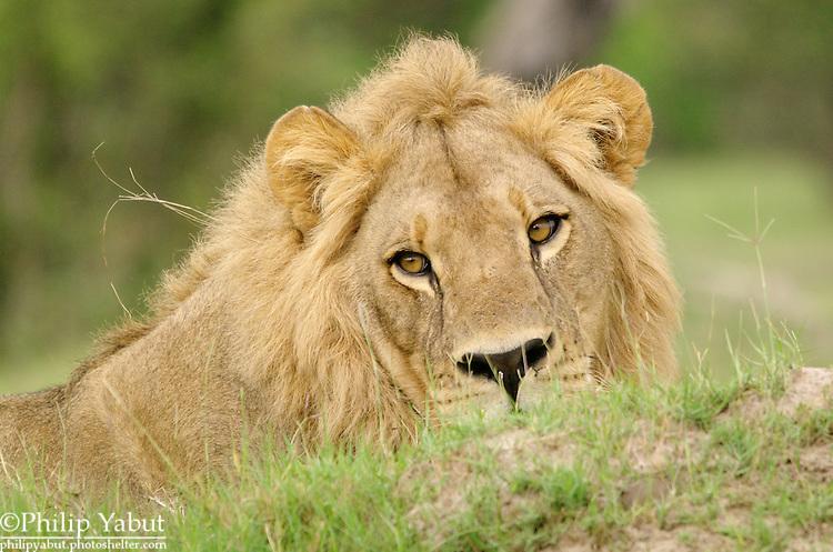 A lion at rest at the Kwara Reserve, Okavango Delta, Botswana.