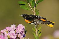 Baltimore Oriole (Icterus galbula), male perched, Sinton, Corpus Christi, Coastal Bend, Texas Coast, USA