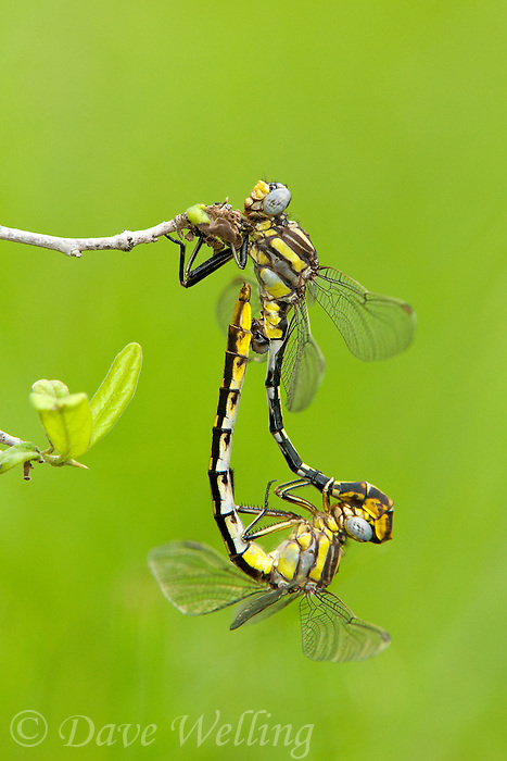 334120014 a wild pair of sulphur-tipped clubtails gomphus militaris dragonflies in copula or mating while perched on a small branch in southeast regional park austin travis county texas