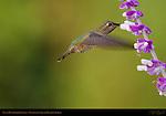 Anna's Hummingbird Female, Feeding on Sage in Hovering Flight, Southern California