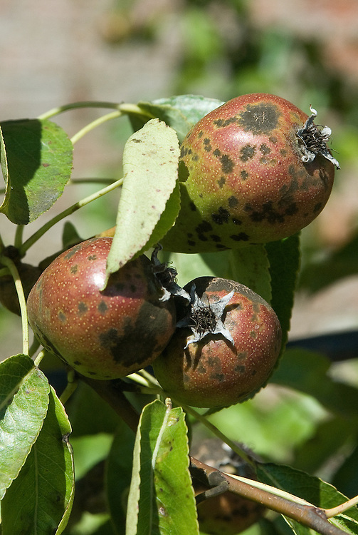 Pear scab, a fungal disease that causes dark brown scabs to appear on the skins of the fruit and on foliage. Badly infected pears are small and distorted, and may crack and rot.