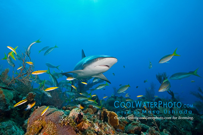 Caribbean reef shark, Carcharhinus perezi, and yellowtail snappers, Ocyurus chrysurus, West End, Bahamas, Atlantic Ocean