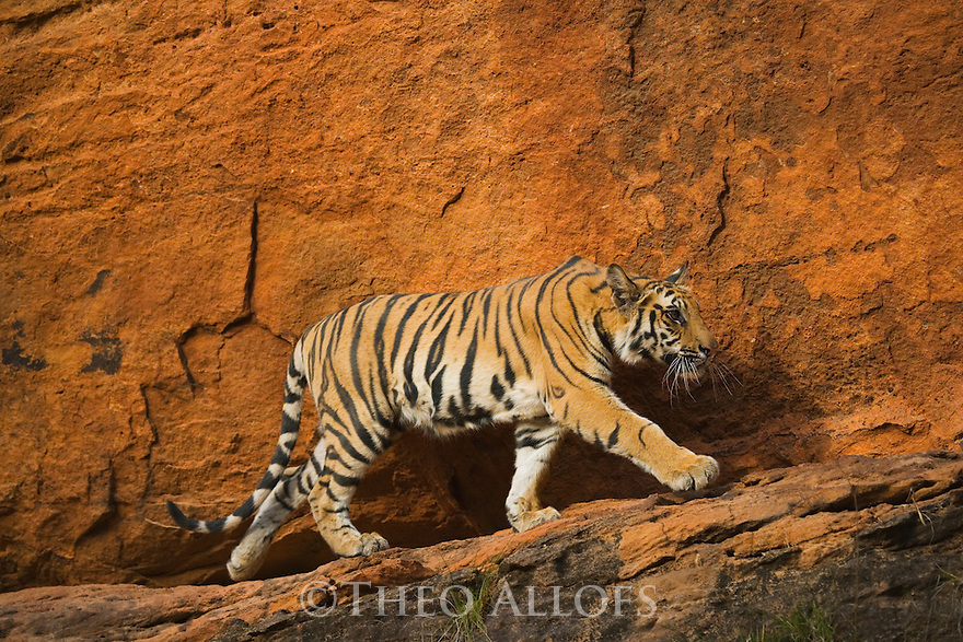 11 months old Bengal tiger cub walking on rocky ledge in front of red cliff, April, dry season